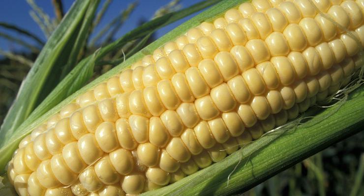 Кукуруза резко подорожала в Украине