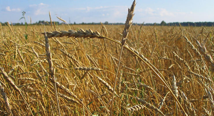 Потери зерна в Украине составляют 10-15%