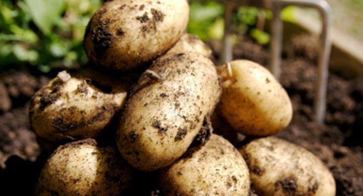 Дефицита картофеля в Украине не будет