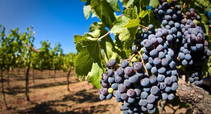 Виноградарство в Украине: быть или не быть?