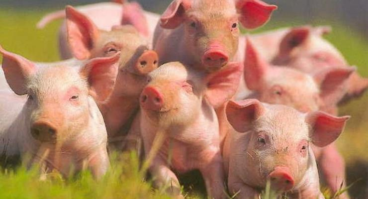 Борьба с африканской чумой свиней недофинансируется