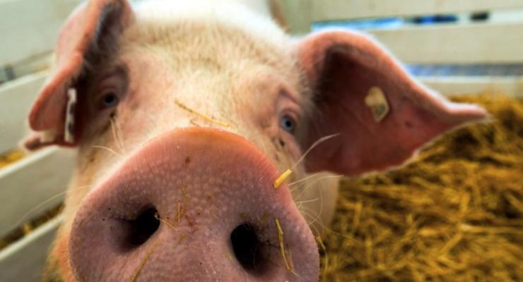 Молдова может приостановить импорт свинины из Украины