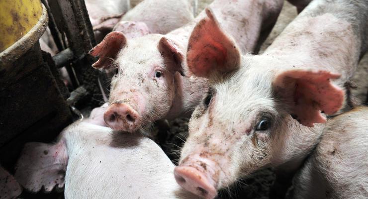 Румыния запретила импорт свинины из Одесской области