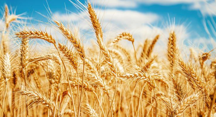 В Украине из-за засухи под угрозой 50% зерновых