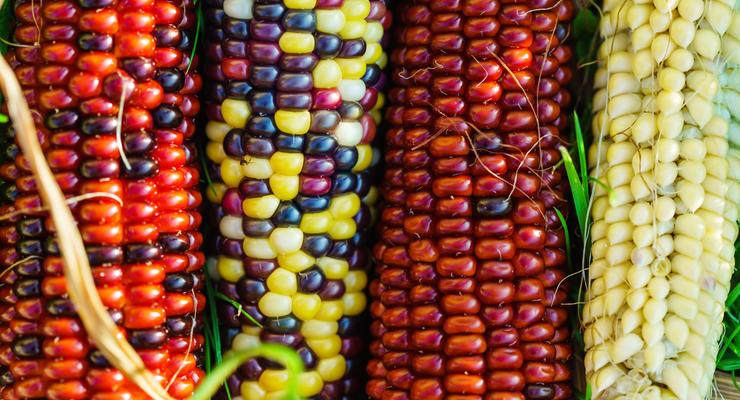 Когда в Украине начнут продавать гибридную кукурузу