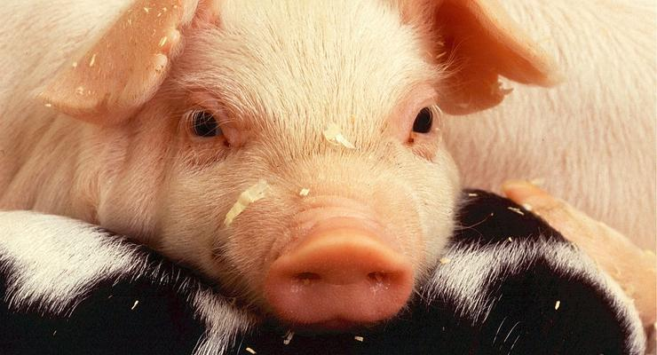 Украина сократила производство свинины