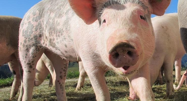 Свинина дорожает в преддверии новогодних праздников