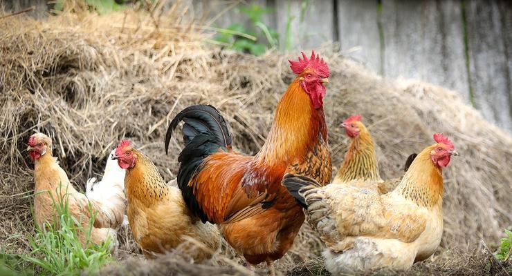 Украина увеличила производство курятины