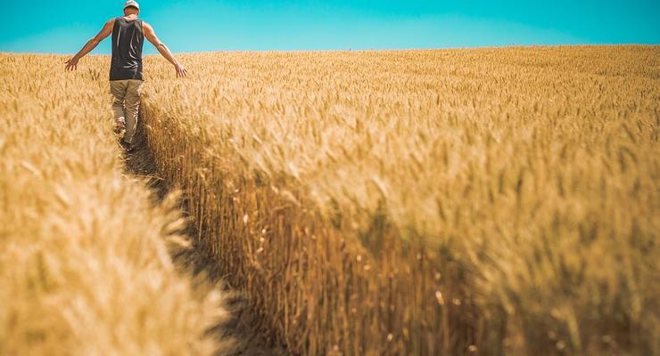 В Украине могут собрать до 70 млн т зерна