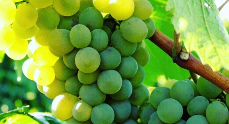 """Сontract growing – у """"Таврии"""" новая модель виноградарства"""