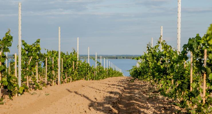 Виноробство на схилах Дніпра
